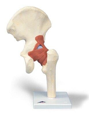 TecnoEdu - Modelo funcional de la articulación de la cadera de lujo