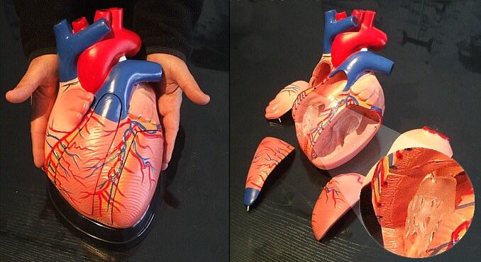 TecnoEdu - Modelos Escolares para Biología, Anatomía y Educación ...